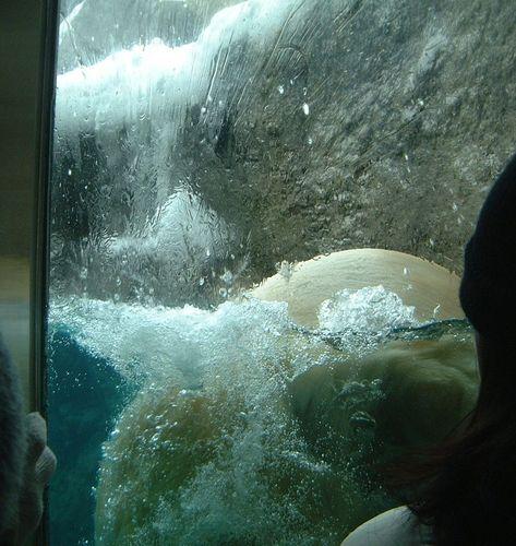 旭山動物園・白熊君