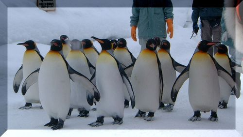 旭山動物園・ペンギン君